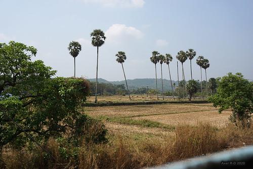arbre champs india kerala palmierpalmiers