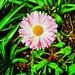 Today's lone flower #YardBouquetoftheDay! #Hope #SpringIsNotAfraid #NEOhioSpring! #SpringFlowers #GalaxyS10e #DigitalRollOfFilm2020 #RideLocalDreamGlobal