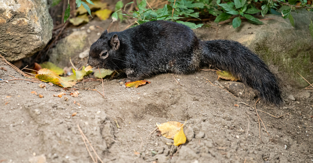 Black French Squirrel_1