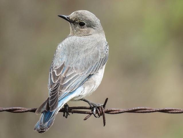 Mountain Bluebird / Sialia currucoides, female