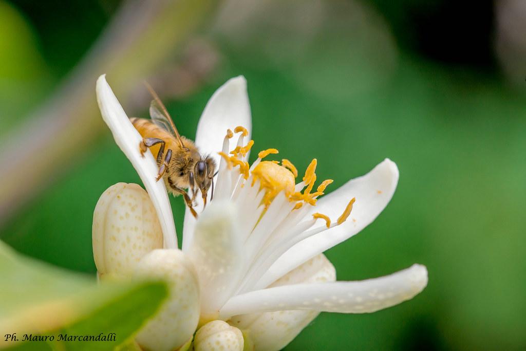 Al lavoro nei fiori d'agrume