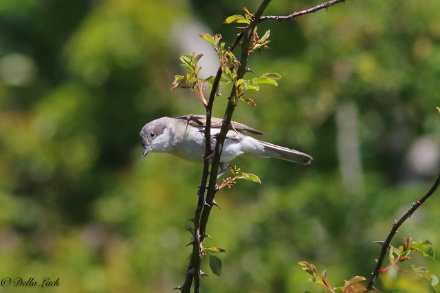 Lesser Whitethroat Male
