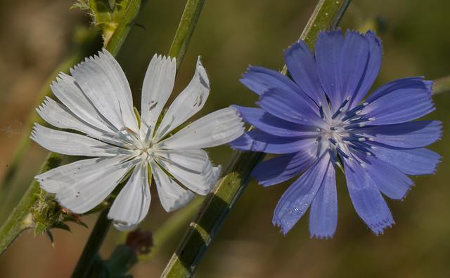 Cichorium intybus - Achicoria