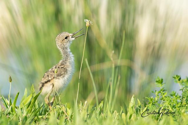 Echasse blanche - Himantopus himantopus (Domaine Des Oiseaux, Ariège) 30 mai 2020