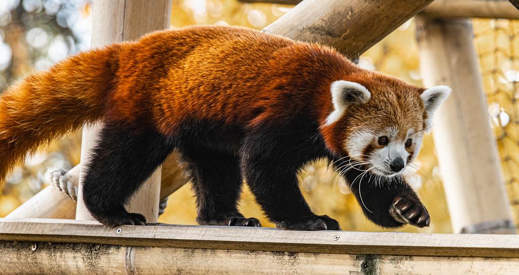 Red Panda_7