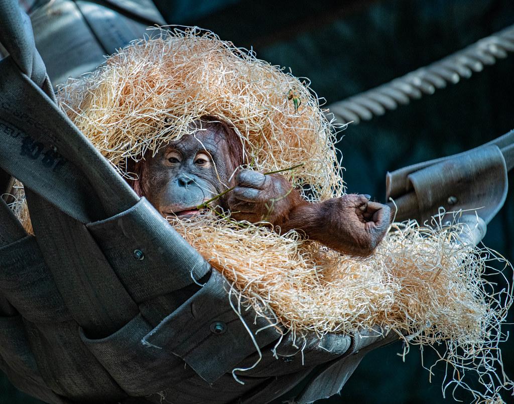 Orangutan_3