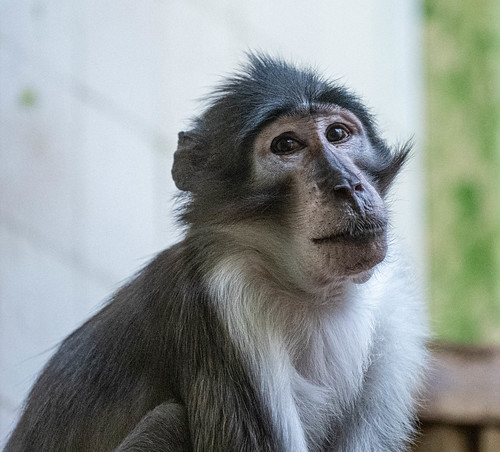 LHoests Monkey_10 | by guppiecat