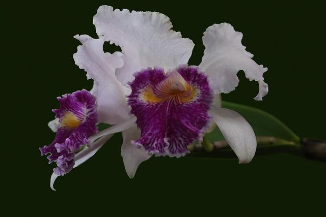 Cattleya labiata 26.02.2020 0J5A6995
