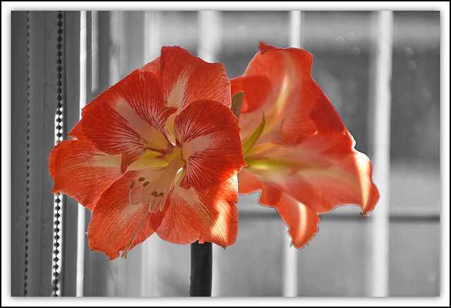 Flower Of The Day - Amaryllis