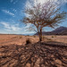 Acacia in the Arava by Sebastian Witkin