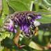 Ackerhummel (Bombus pascuorum)