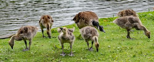 2020.05.27.0453.D850 Goose Family