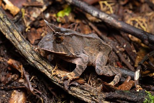 Horned frog (Proceratophrys boiei)