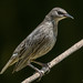 Starling (Juvenile).jpg