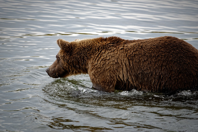 Exploring the Brooks River in Search of Salmon (Katmai National Park & Preserve)