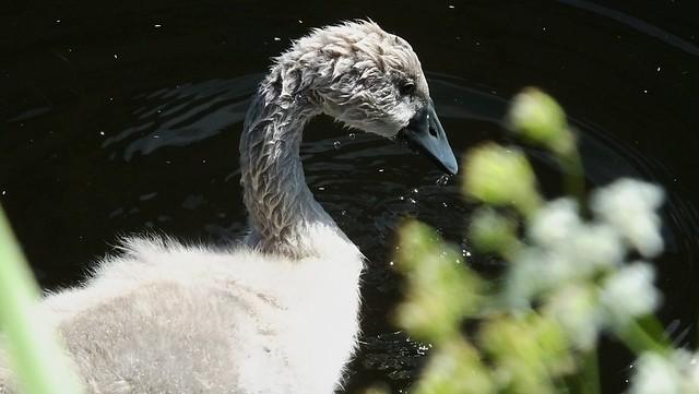 Swan Family 037
