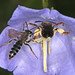 Andrena curvungula f - Braunschuppige Sandbiene