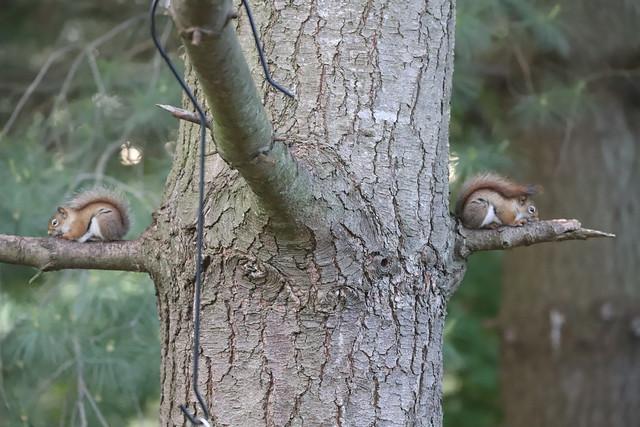Backyard Red & Fox Squirrels (Ypsilanti, Michigan) - May 27th to May 30th, 2020