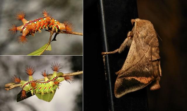 METAMORPHOSIS - Cup Moth (Setora baibarana, Limacodidae)