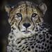 Cheetah Jabula with Tongue Tip
