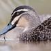BPC Keep Photographing Week 8 Animal Black Duck