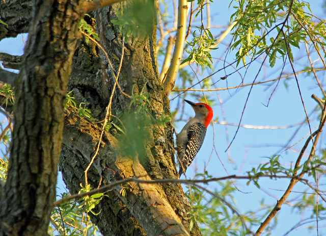 Red Bellied in a Willow.