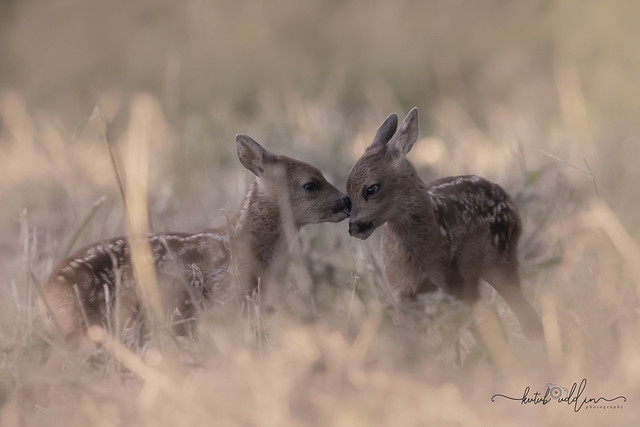 Baby Roe deers. It was worth to go out early this morning.
