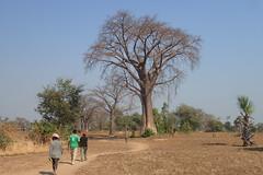 Baobab avenue!  Mangombo, Malawi