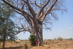 Baobab, Mangombo, Malawi