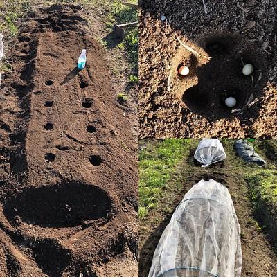土ふるいした畝に枝豆再チャレンジ。 底が凸凹してるペットボトルで穴あけすると撒いた豆がいい感じにハマる。