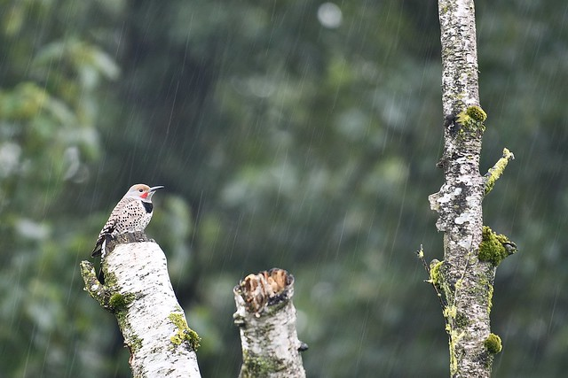 Northern Flicker in a downpour