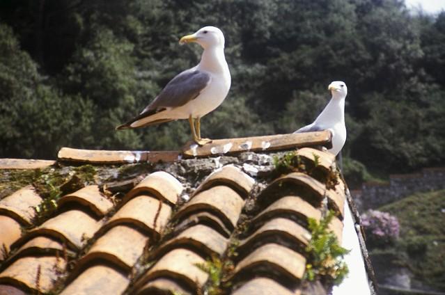 las dos gaviotas de cudillero