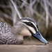 BPC Keep Photographing Week 8 Animal Black Duck 2