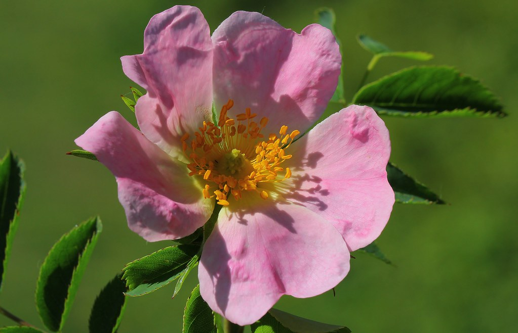 Dog rose - Rosa canina 280520 (2)