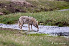 _VM_7677 - Thirsty coyote.