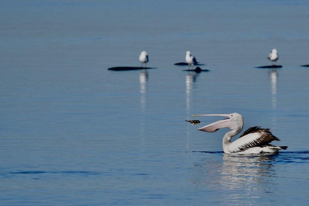 Australian  Pelican  ( fishing )