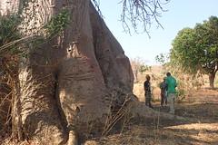 Baobab foot, Mangombo, Malawi