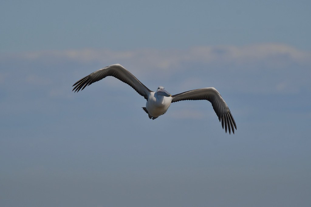 Australian Pelican  ( coming in )