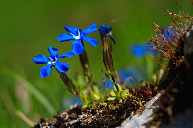 Bleues... (Savoie 05/2020)