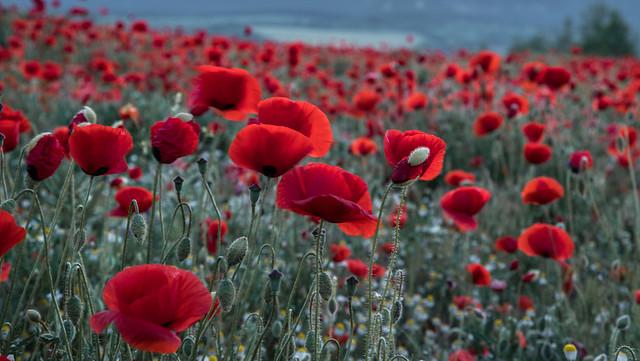 Poppy field ❤️