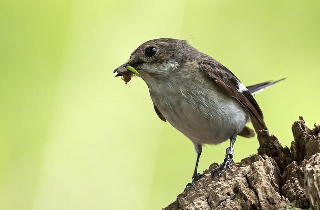 Pied Flycatcher (F) (Carole's)