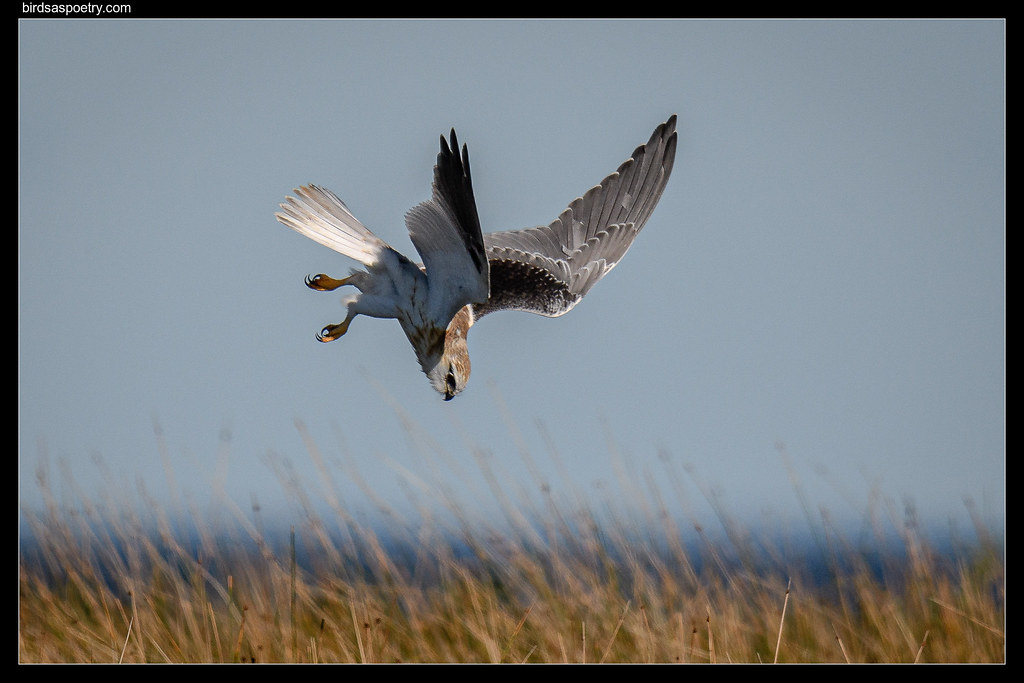 Black-shouldered Kite: Target Acquired