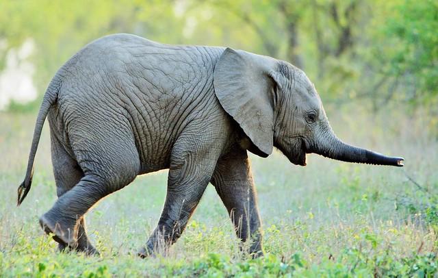 Baby Elephant (Loxodonta africana)