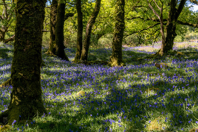 Dartmoor Bluebells - NK2_9776