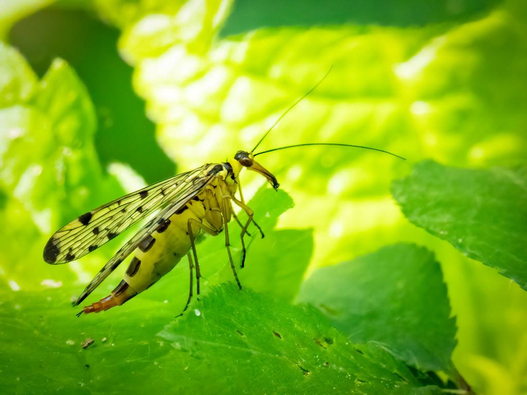 Panorpe ou mouche scorpion... 49955741363_296e9bdfcb_b