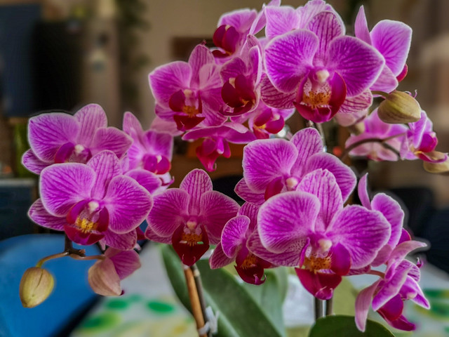 A home orchid with thick purple coloured flowers.