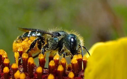 Mason Bee (Osmia coloradensis)