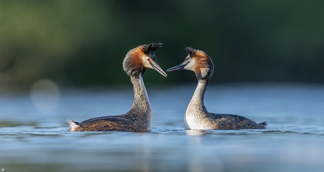 Great Crested Grebes, Attenborough Nature Reserve.
