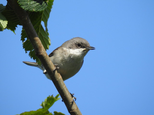 Lesser Whitethroat-local lane   DSCN0684