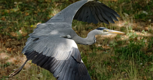 a Heron in flight